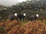 Herdwicks sheltering from the wind