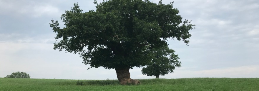 A large solitary tree in a grassy field