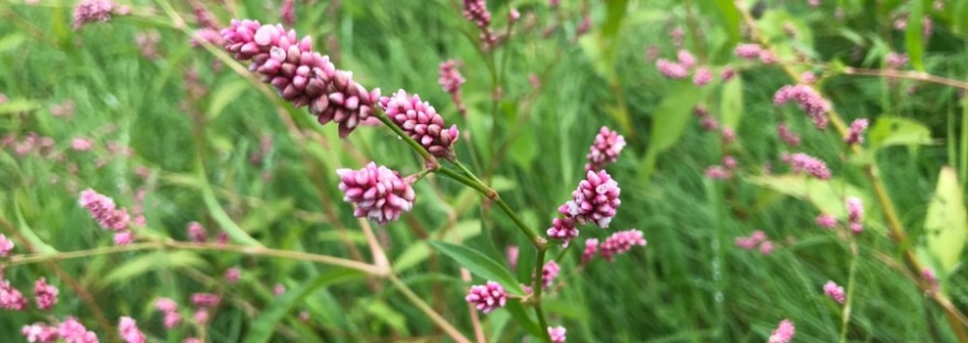 Tiny clusters of pink flowers
