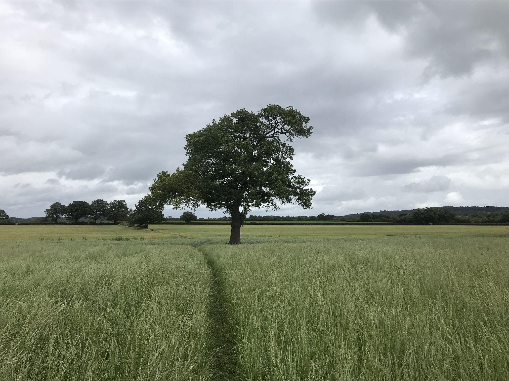 A path through long grass towards a single tree under a grey sky
