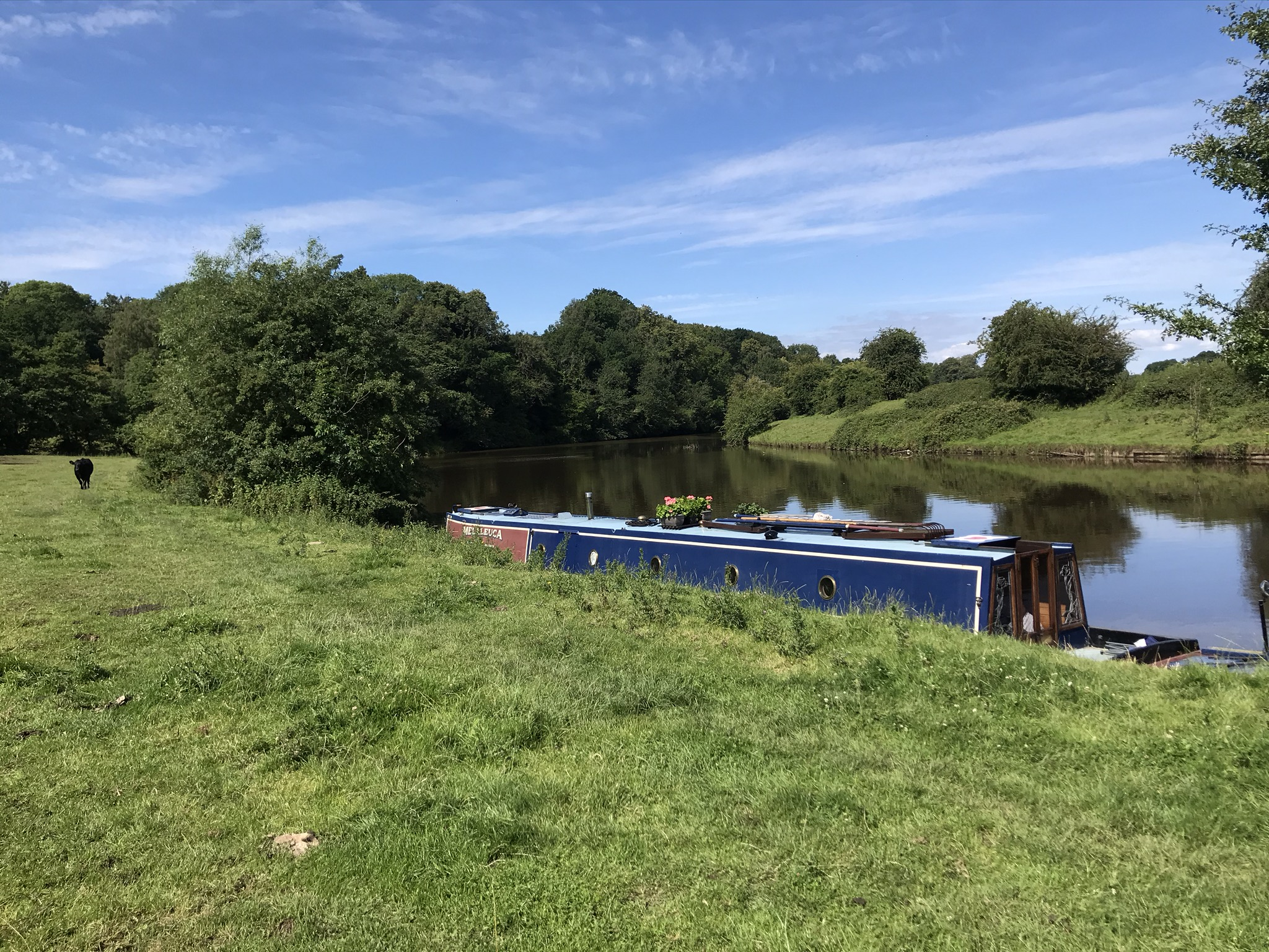 A narrowboat with flowers on the roof moored by a grassy field. The river is wide and smooth.