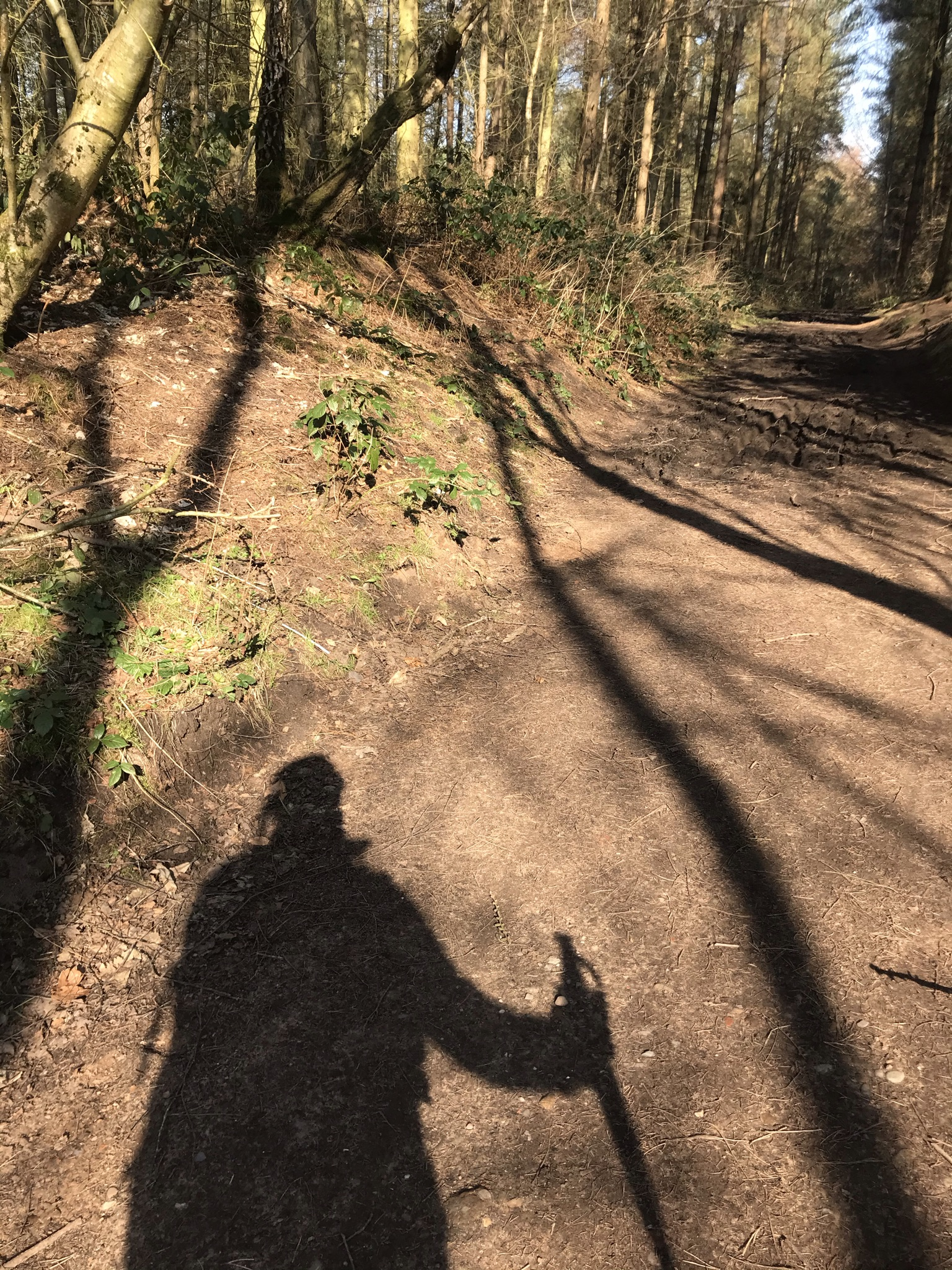 The shadow of a person with a walking pole against a dirt track between tall straight trees