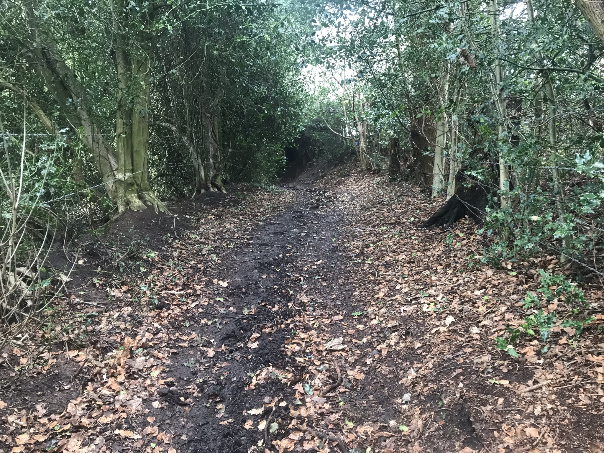 A muddy path with fallen leaves and high holly bushes leads down into dark overgrown hedges