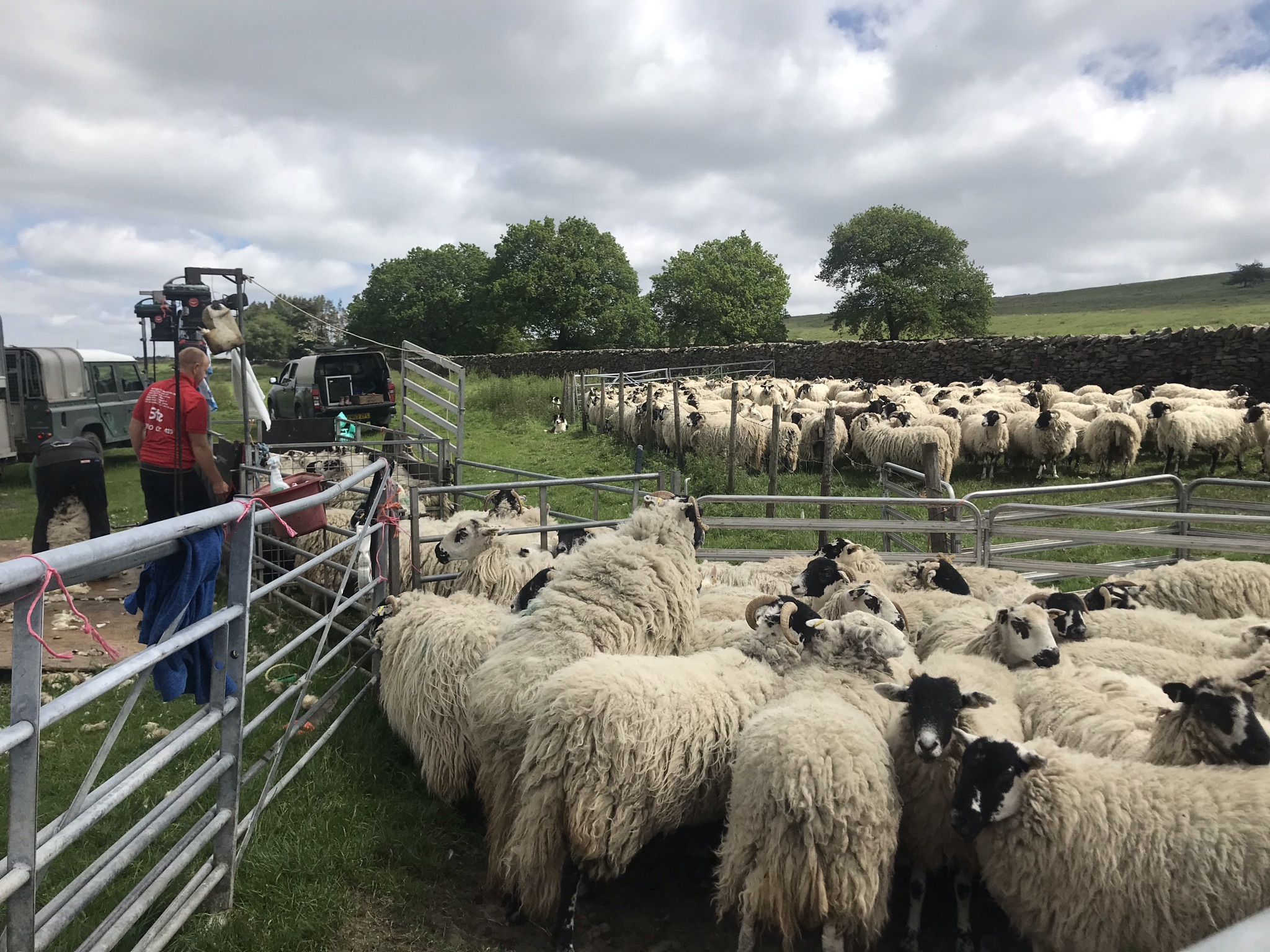 Sheep with long shaggy coats wait in pens to be sheared. Two men are shearing the sheep.