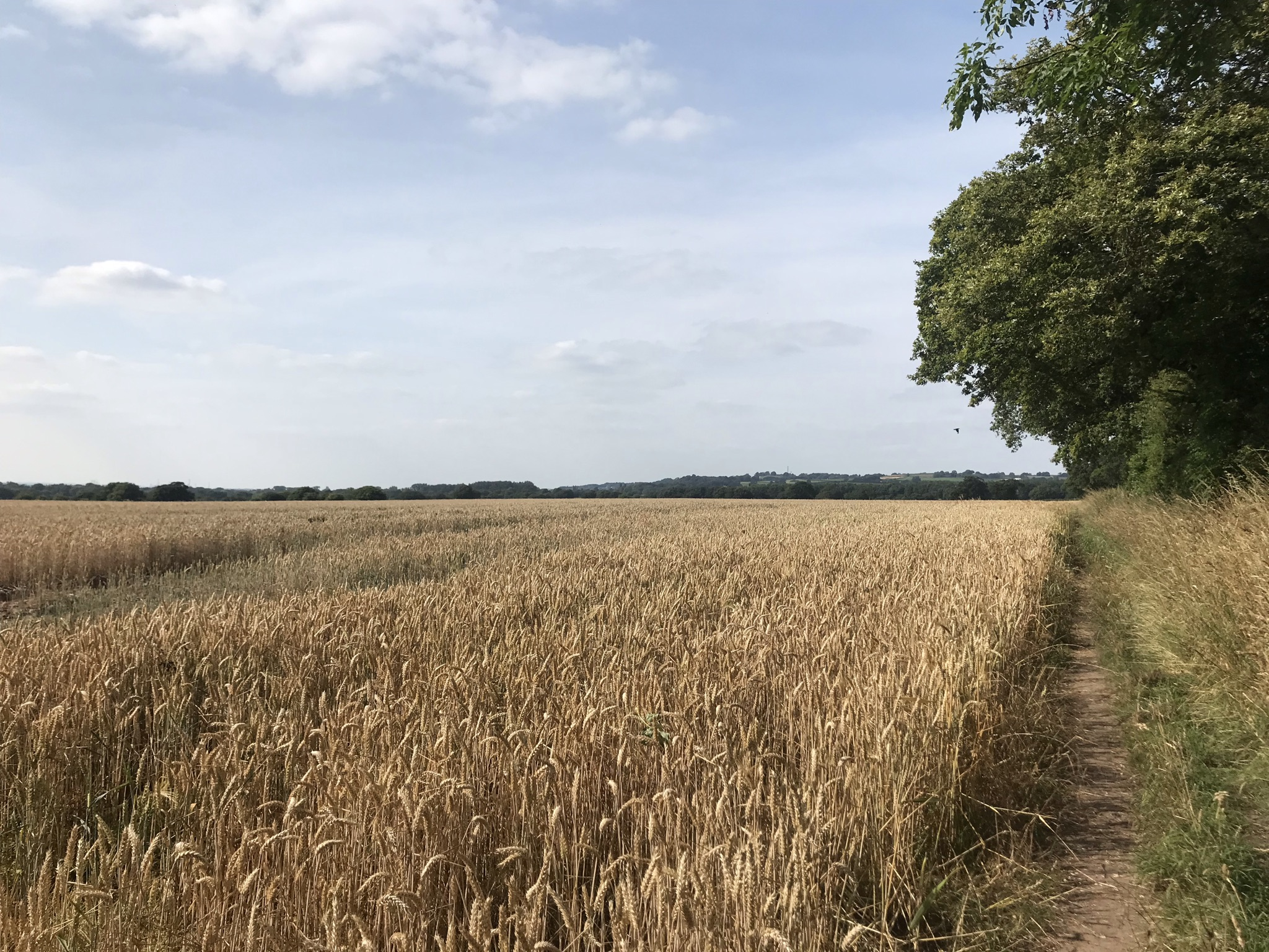 A long view over a field of ripening wheat. A narrow footpath runs along side it